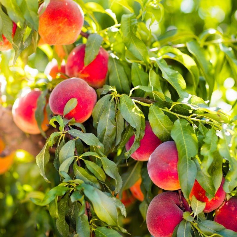 arbre-fruitier-chauffin