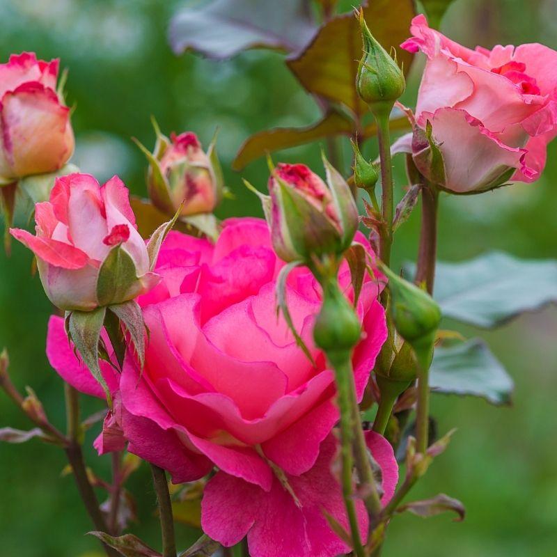 rosier-chauffin